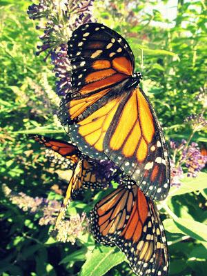 Butterflying