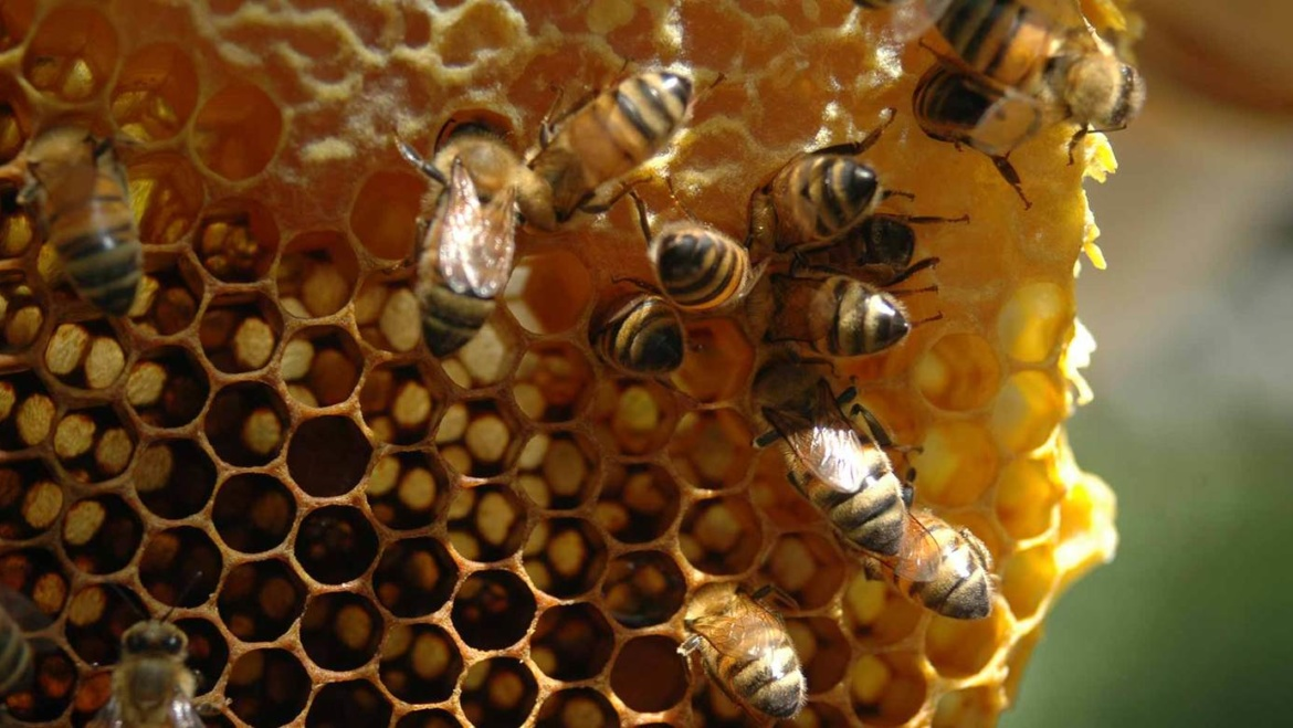 The honey bees are swarming!